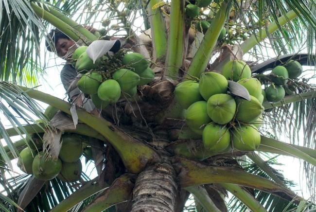 hái dừa